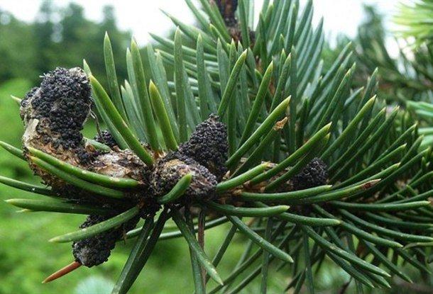 Чешские леса в горах уничтожает гриб-паразит