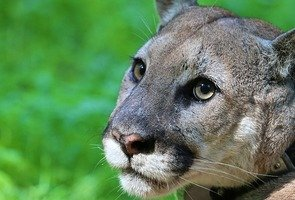 Mountain-lion-1055259_640