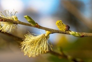 Willow-catkins-3325554_1280