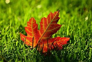 Maple-leaf-3680684_1280