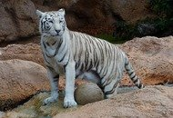 White-bengal-tiger-407027_960_720